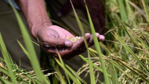 Arroz Sector Agropecuario