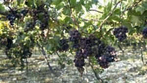 Uvas de Neiba